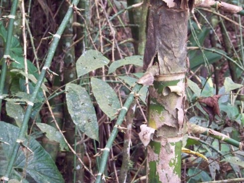 The bamboo thorns on adventious roots were very sharp and intimidating.