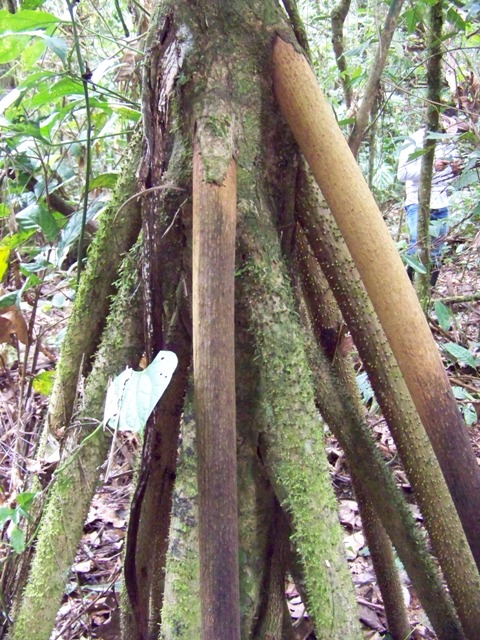"""Dead and dying adventious or stilt roots of the """"walking tree""""."""
