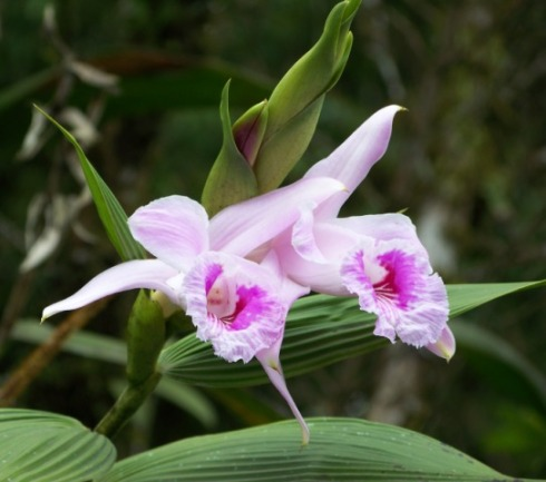 The beautiful Sobralia rosea orchid near Chaco.