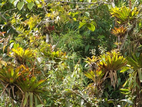 A large cluster of Bromeliads covering several host trees.