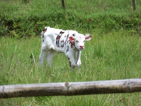Red-spotted calf of Chaco.