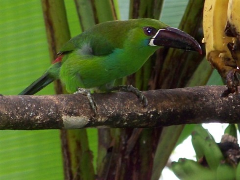Crimson-rumped Toucanet feeding on bananas.